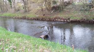 Kaninchen schwamm in Panik auf die andere Seite des Flusses