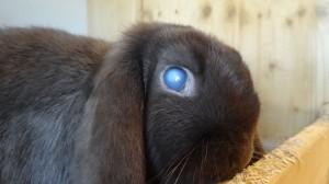 Das dunkle Kaninchen hat ein trübes Auge...